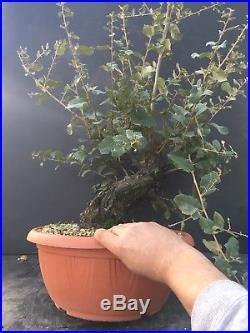 Bonsai Quercia da Sughero Quercus Suber