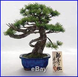 Bonsai Replica Pine Tree Fukuju no Matsu from Japan