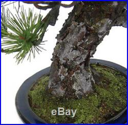 Bonsai Replica Pine Tree Houjou no Matsu from Japan