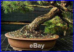 Bonsai Specimen Tree Scots Pine SPST-1215