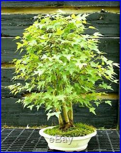 Bonsai Specimen Tree Trident Maple TMST-429B