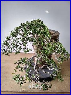 Bonsai Streblus Asper VERY OLD TREE