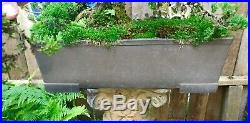 Bonsai Tree 79 Years Old Juniper 36 Tall, 25 Wide, 11.5 Inch Trunk Base