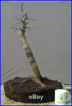 Bonsai Tree, American Hornbeam, Advanced Level prebonsai, Fantastic Yamadori