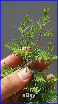 Bonsai Tree, Bald Cypress, Taxodium distichum, Live Tree! Starter tree