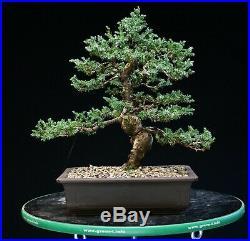 Bonsai Tree Blue Alps Needle Juniper BANJ-1028A