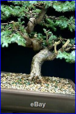 Bonsai Tree Blue Alps Needle Juniper BANJ-1028C