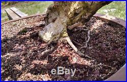 Bonsai Tree, Bougainvillea, Red Flowers, Mature Tree, Beautiful Shari