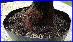 Bonsai Tree, Bougainvillea spectabilis, Purple Blooms, Fat Base, Stout Tree
