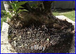 Bonsai Tree, Bougainvillea spectabilis, Purple Blooms, Quality Prebonai, #1
