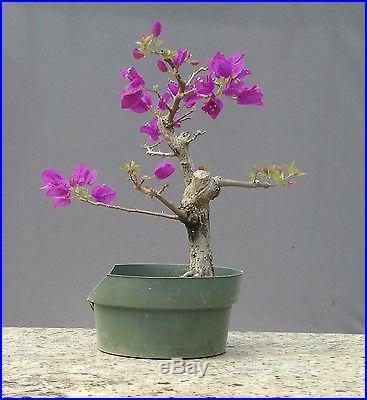 Bonsai Tree, Bougainvillea spectabilis, Purple Blossoms, No Reserve Auction