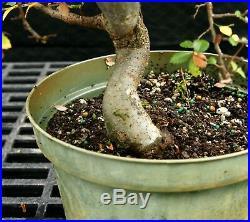 Bonsai Tree Chinese Elm CE12-128G