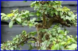 Bonsai Tree Chinese Elm CE12-305A