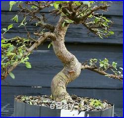 Bonsai Tree Chinese Elm CE12-305D