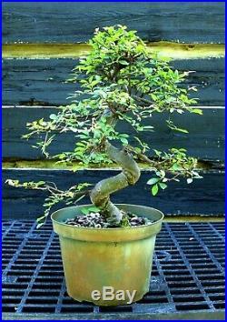 Bonsai Tree Chinese Elm CE12-515D