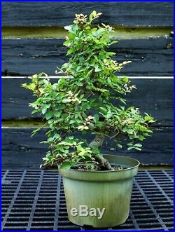 Bonsai Tree Chinese Elm CE12-617A