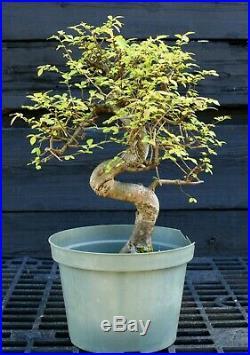 Bonsai Tree Chinese Elm CE12-617B