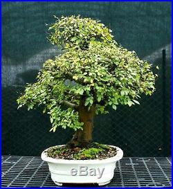 Bonsai Tree Chinese Elm Specimen CEST-1215B