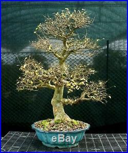 Bonsai Tree Chinese Elm Specimen CEST-1216