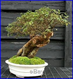 Bonsai Tree Chinese Elm Specimen CEST-202