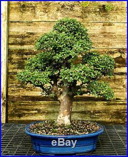Bonsai Tree Chinese Elm Specimen CEST-518A