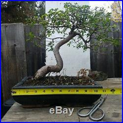 Bonsai Tree Chinese Elm Ulmus Specimen Styled Movement JaysBonsaiTrees