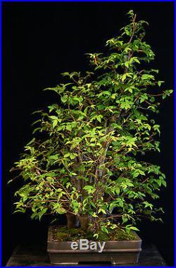 Bonsai Tree Collected American Elm Grove CAEG6-706