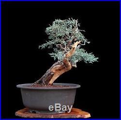 Bonsai Tree Collected Sierra Juniper'yamadori