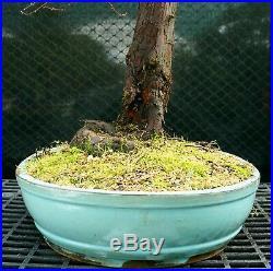 Bonsai Tree Dawn Redwood DRST-1216B
