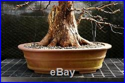 Bonsai Tree Dawn Redwood DRST-128