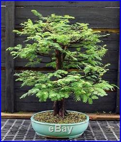 Bonsai Tree Dawn Redwood DRST-830A