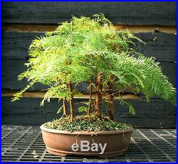 Bonsai Tree Dawn Redwood Grove DRG5-1124D