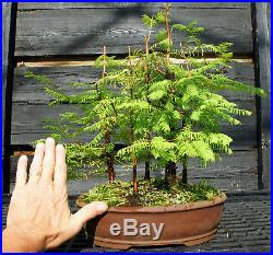 Bonsai Tree Dawn Redwood Grove DRG5-724B