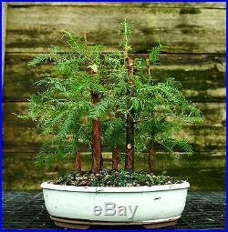 Bonsai Tree Dawn Redwood Grove DRG5-728B