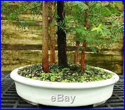 Bonsai Tree Dawn Redwood Grove DRG7-814B