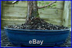 Bonsai Tree Dawn Redwood Specimen DRST-328B