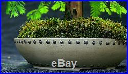 Bonsai Tree Dawn Redwood Specimen DRST-825