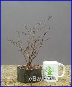 Bonsai Tree, Dwarf Crape Myrtle, Pocomoke Variety, Live Tree! Starter Tree