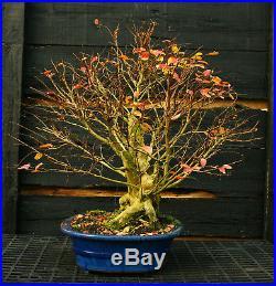 Bonsai Tree Dwarf Crape Myrtle Specimen DCMST-1130