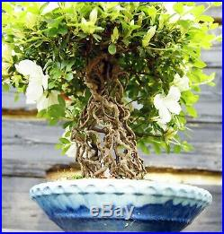 Bonsai Tree Exposed Root Satsuki Azalea Chiyo-No-Homare Specimen SACST-429B