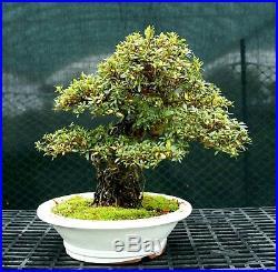 Bonsai Tree Exposed Root Satsuki Azalea Hakuho Specimen SERST-1215B