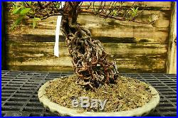 Bonsai Tree Exposed Root Satsuki Azalea Kinsai Specimen SAKST-424B