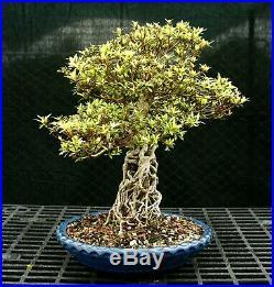 Bonsai Tree Exposed Root Satsuki Azalea Kinsai Specimen SAKST-508D