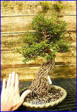 Bonsai Tree Exposed Root Satsuki Azalea Kinsai Specimen SAKST-915C