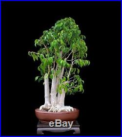Bonsai Tree Ficus Forest Planting In Japanese Clay Pot