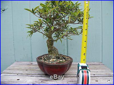 Bonsai Tree Ficus salicifolia Willow Leaf