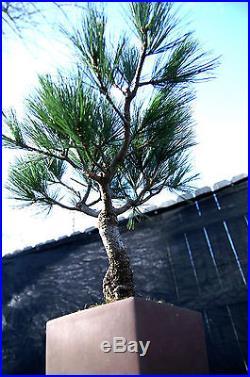 Bonsai Tree Five Needle Japanese White Pine FNP-330