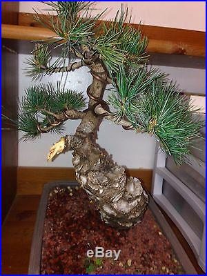 Bonsai Tree Five Needle Japanese White Pine Show Quality massive trunk must have