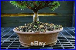 Bonsai Tree Five Needle Pine White Pine FNP-919A