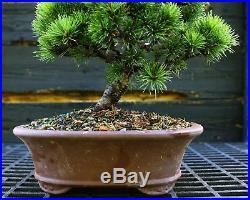 Bonsai Tree Five Needle Pine White Pine FNP-919C